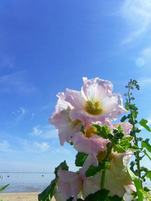 des roses en bord de plage 2