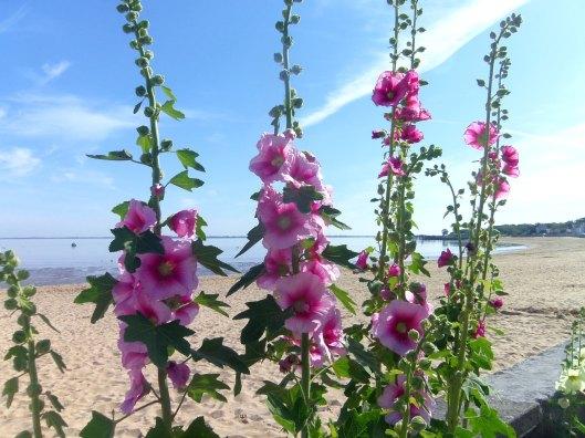 des roses en bord de plage