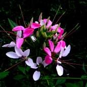 fleurd'été