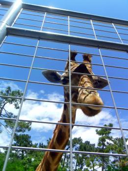 Girafe du Zoo de la Palmyre (Charente Maritime)