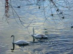 mouvement lent des cygnes sur la Seine