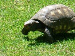 mouvement lent d'une tortue