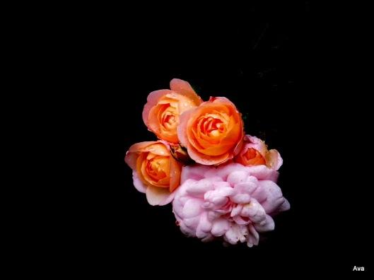 fleur du jour, rose