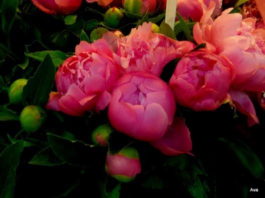 pivoines, fleurs, roses