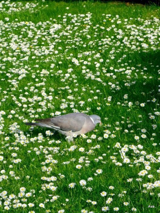 paquerette, pigeon
