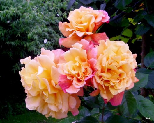 roses en grappe