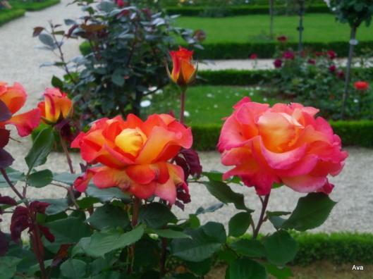 roses oranges rosées