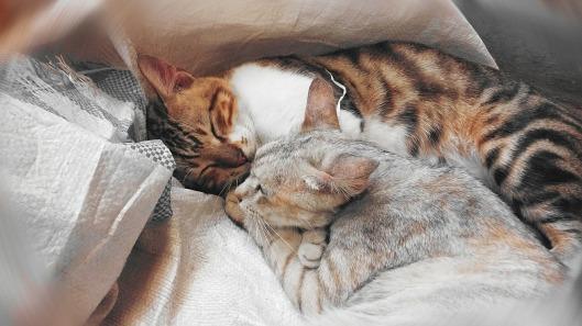 cats-443655_1280
