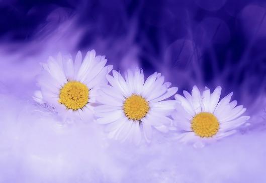 daisy-583090_1280