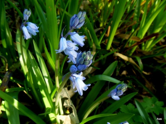 clochettes bleues