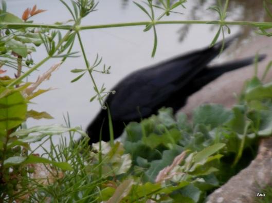 corbeau flou