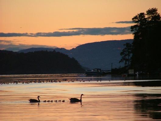 swans-339351_1280