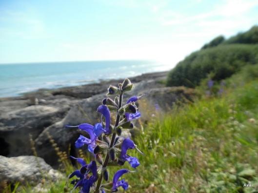 fleur bleue de bord de mer