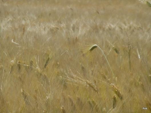 rebelle parmi les blés