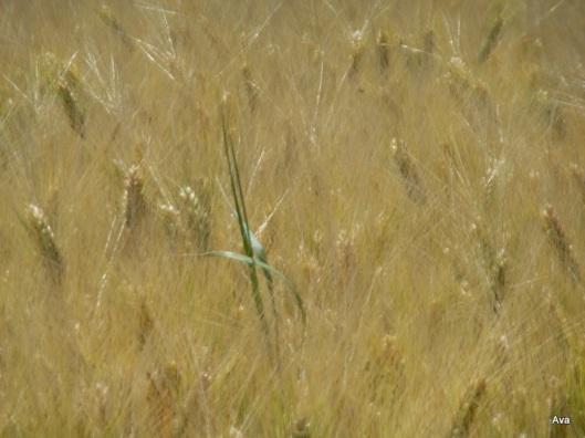 une étrangère parmi les blés