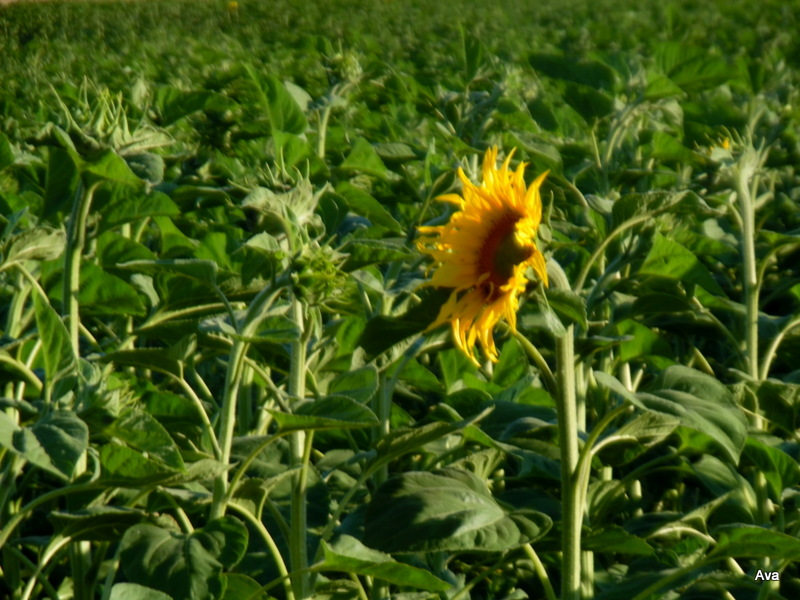 tournesol in the wind