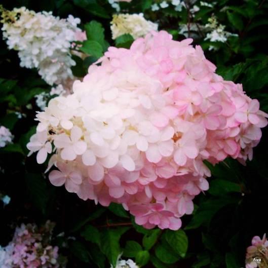 fleur en rose et blanc