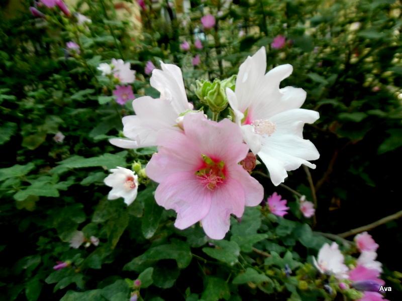 fleurs rose et blanc