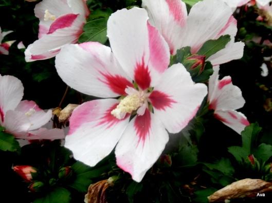 lavatère rose et blanche
