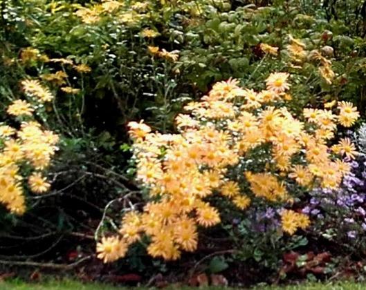 fleurs jaunes d'automne