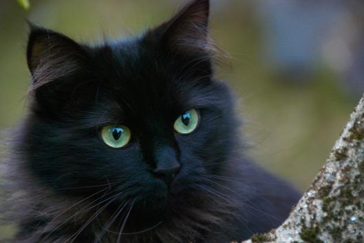 black-cat-375866_1920