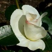 la rose s'ouvre