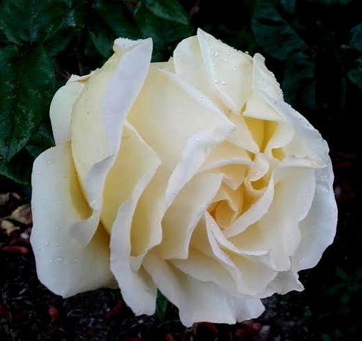 rose blanche sous la pluie