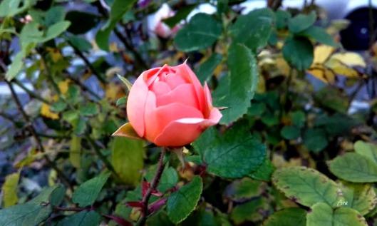 rose de novembre 2 sig