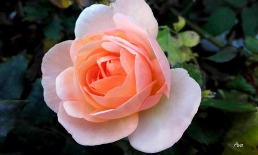 rose de novembre sig