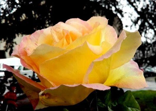 rose jaune sous la pluie