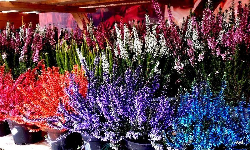 jolies bruyères colorées