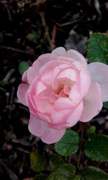 rose survivante