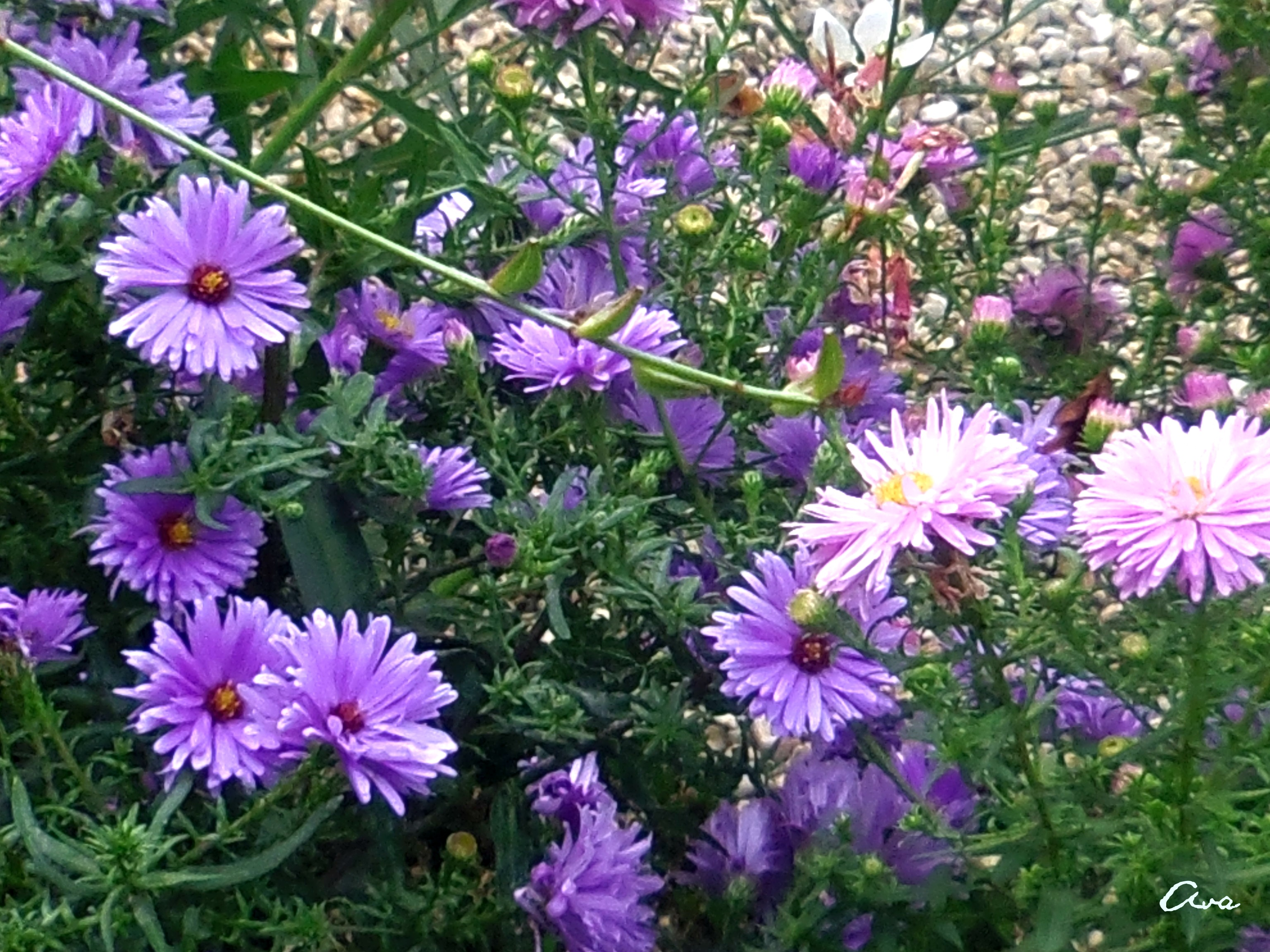 aster parme