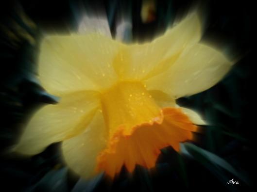 Jonquille - Daffodil 2 à effet