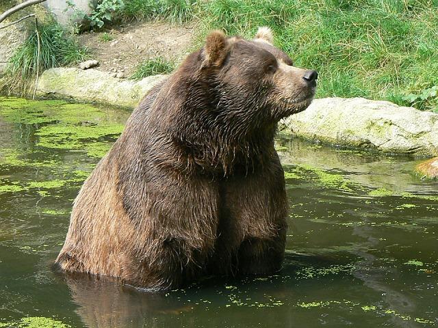 kodiak-bear-885892_640