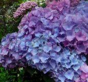 color wisteria