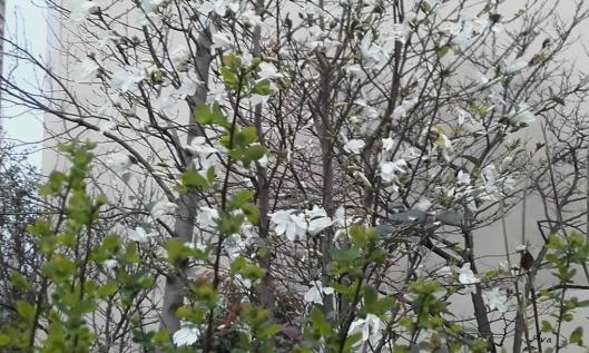 magnolia blanc 2
