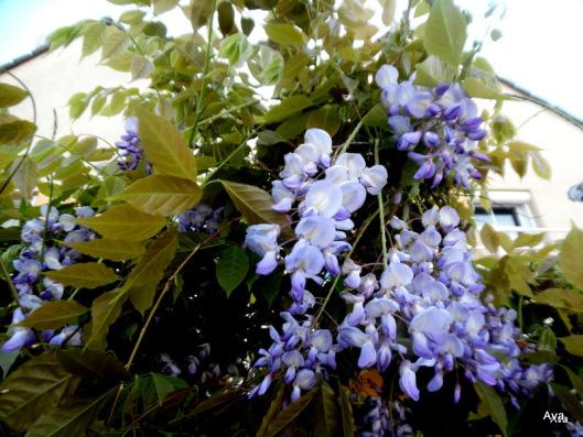 wisteria glycine