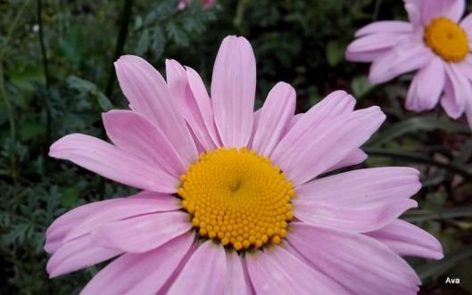 fleurs rose du parc