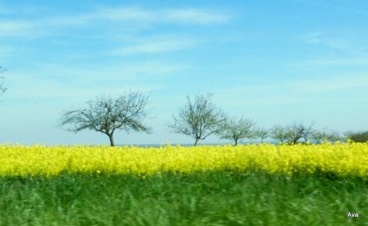 champs de colza