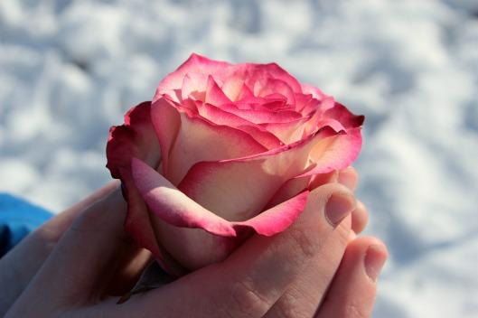 rose-1246479_1920