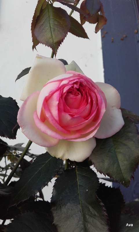 rose pour attentat Nice