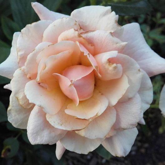 rose couleur thé