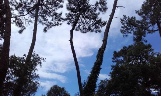ciel bleu et pin maritime