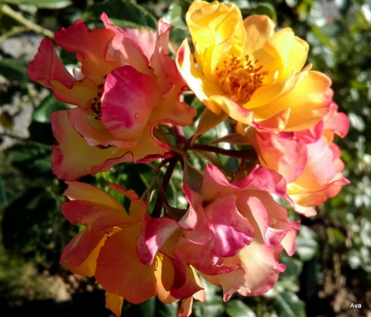 grappe de roses jaunes orangés