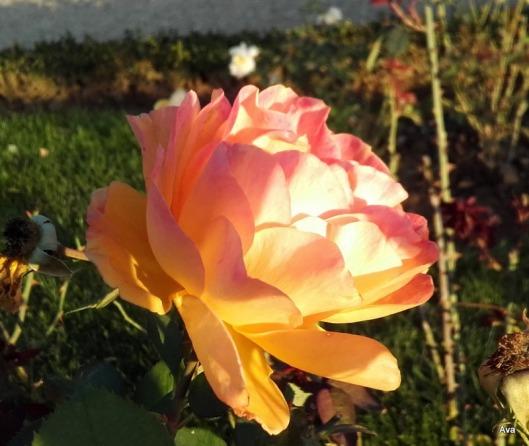 rose jaune orange