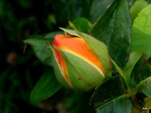 bouton de rose orange