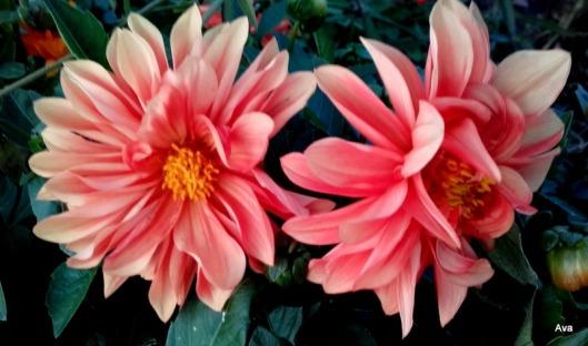 dahlia-rose-jaune-orange