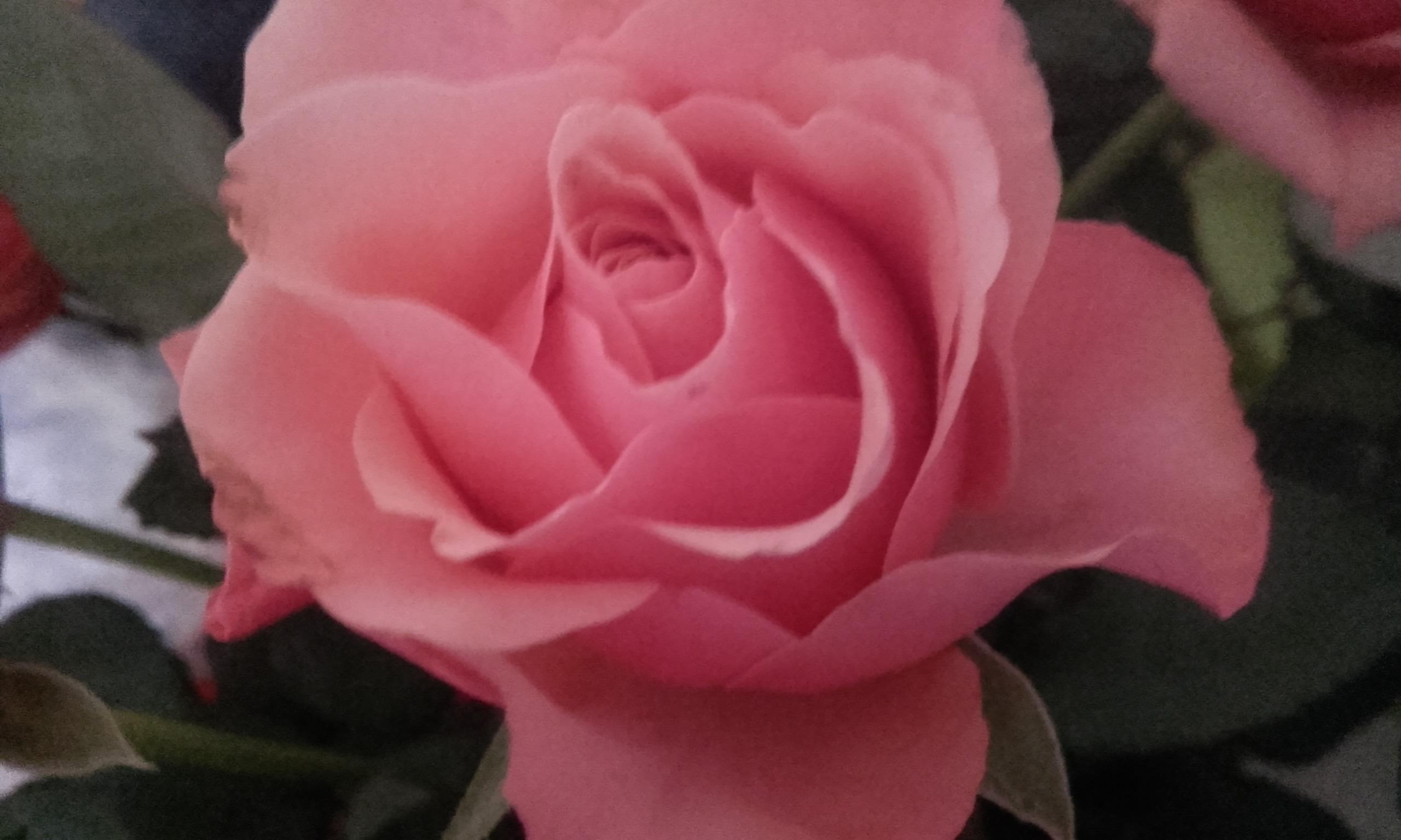 rose-dete