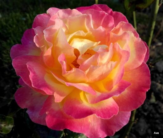 rose-jeanne-moreau